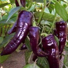 serrano-purple
